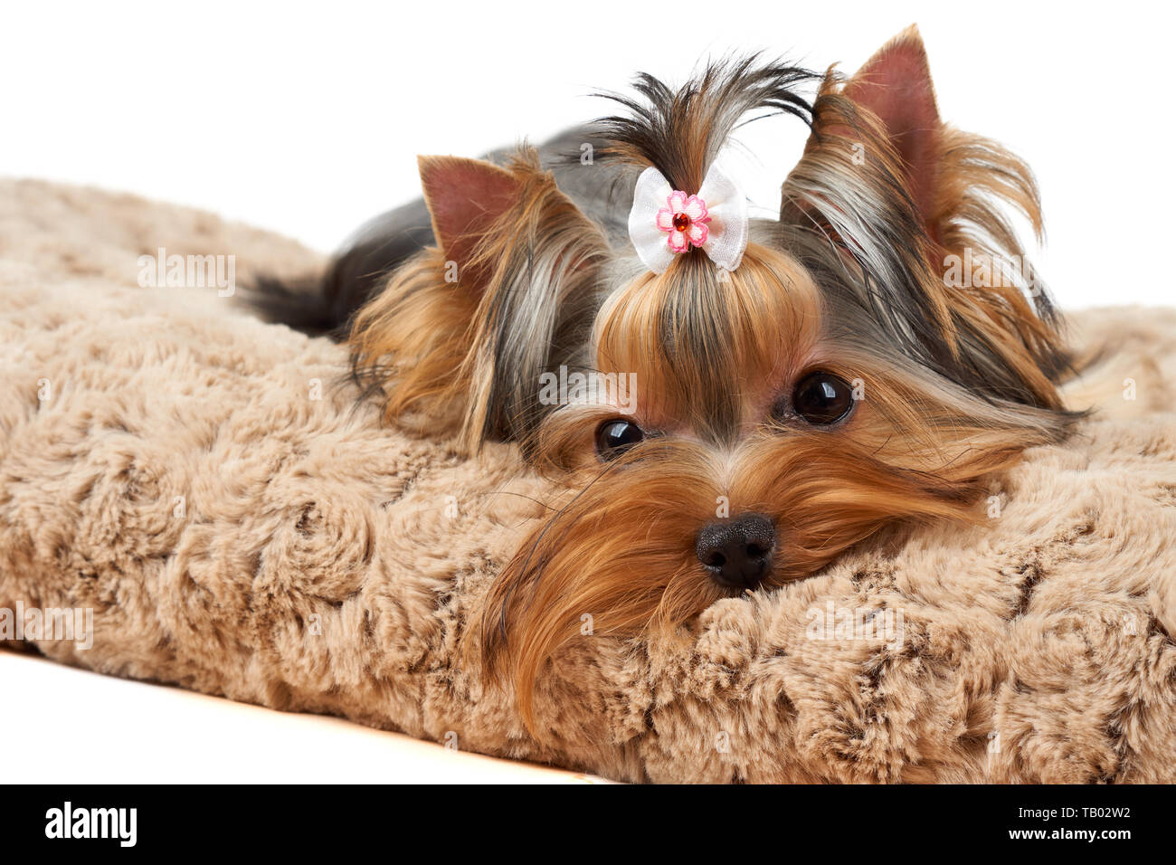 Yorkshire Terrier lies on brown dog bed - Stock Image