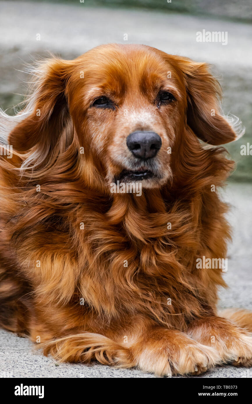 Adorable brown medium size dog, sitting and looking at you Stock Photo