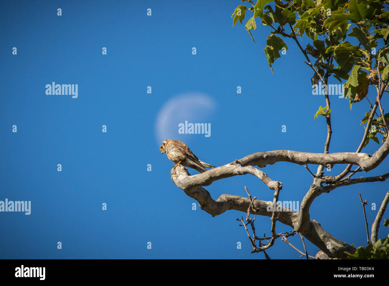American Kestrel  (Falco sparverius ) perched in a sycamore tree with the moon above and behind in a park in Orange County, California; USA - Stock Image