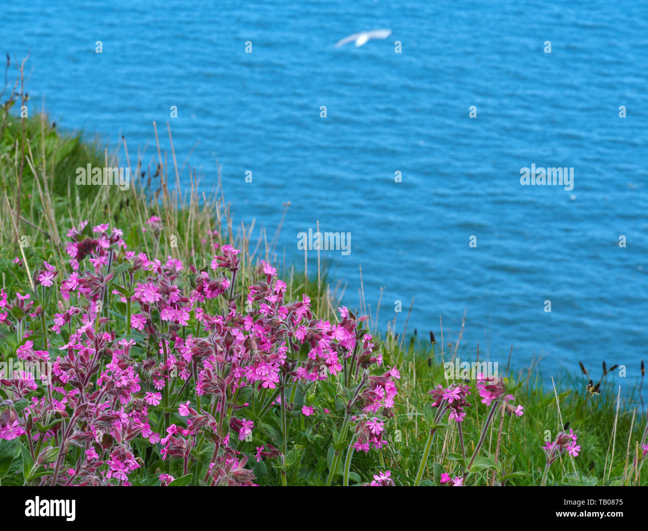 Red campion growing on the edge of a cliff at Bempton Cliffs, East Yorkshire, England, with blue sea and a gull in the background Stock Photo