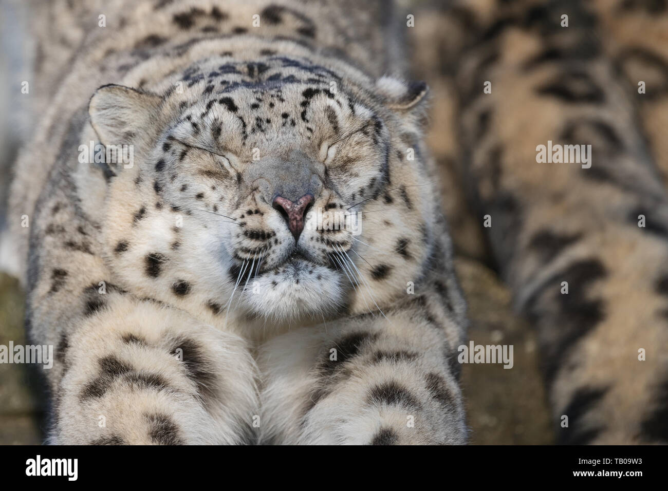 Snow Leopard Stretching next to partner Stock Photo