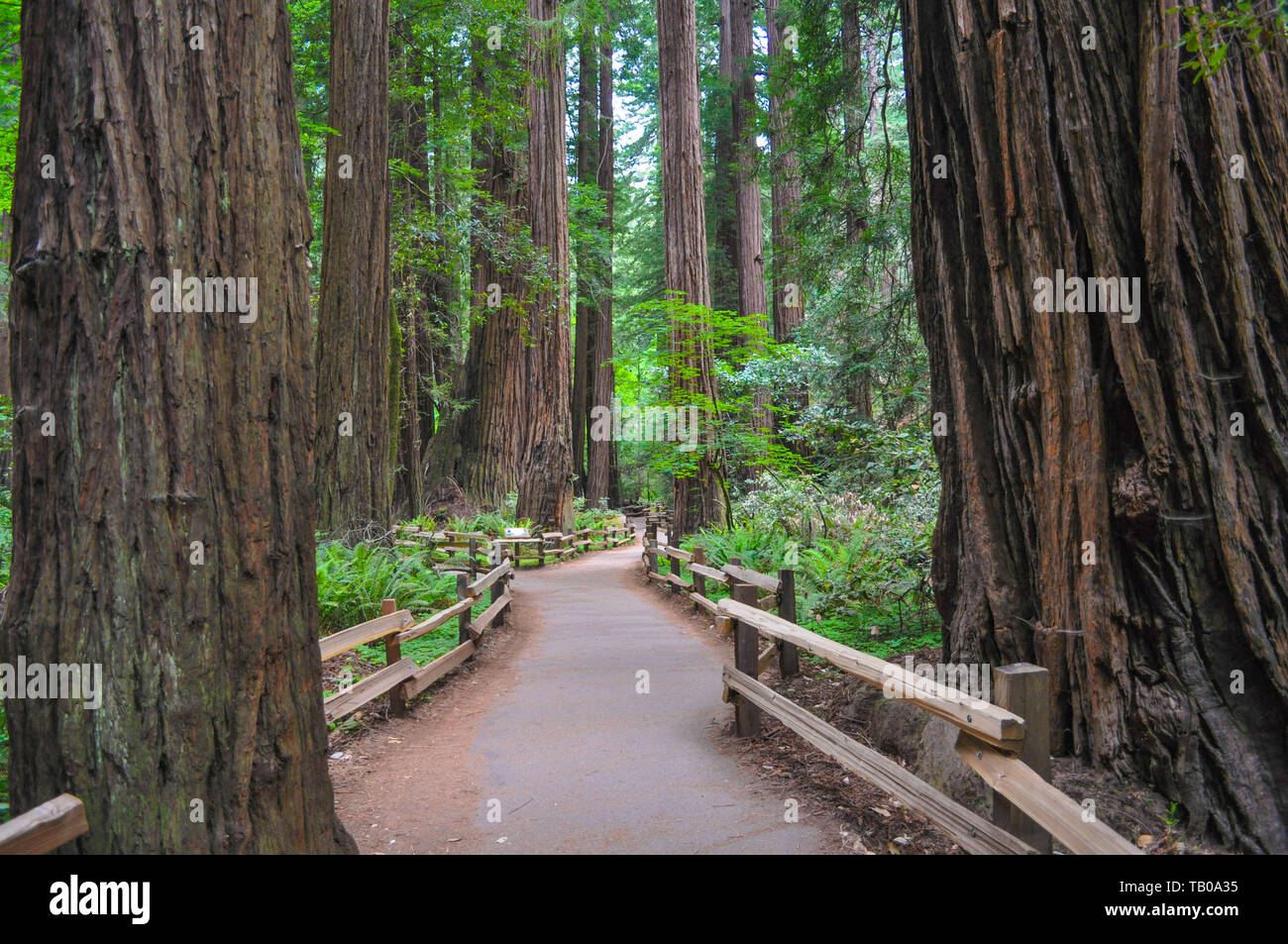 Walking along the path through the California redwoods - Stock Image
