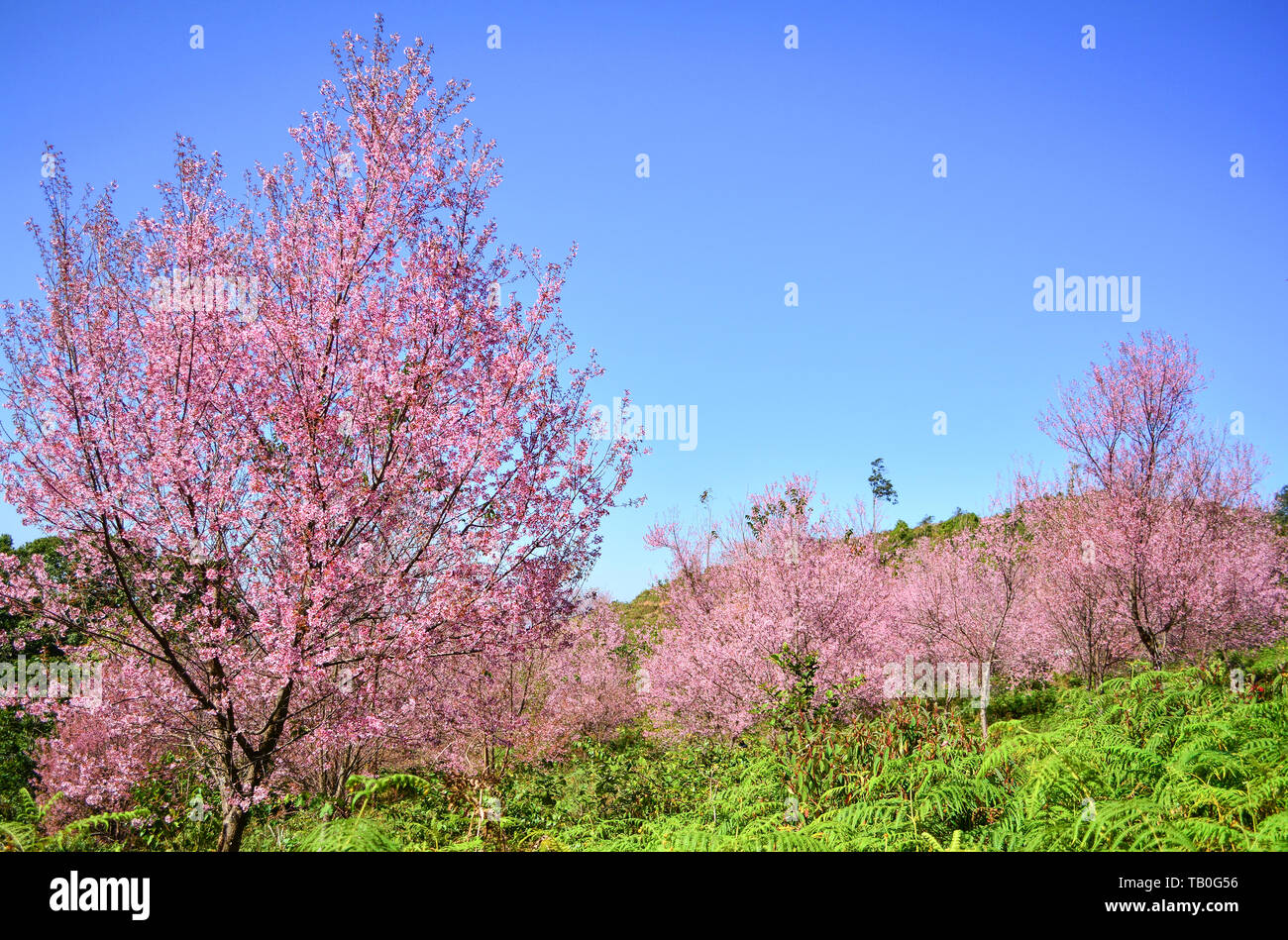 Pink Tree Of Wild Himalayan Cherry Blossom Or Thai Sakura Flower Tree Landscape Mountain Hill In Winter At Phu Lom Lo Loei And Phitsanulok Of Thailand Stock Photo Alamy