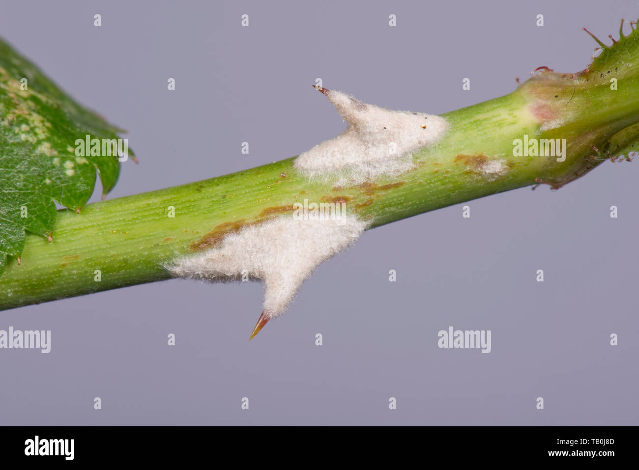 Powdery mildew, Podosphaera pannosa, fungal disease on and around rose thorns, Rosa 'American Pillar' - Stock Image