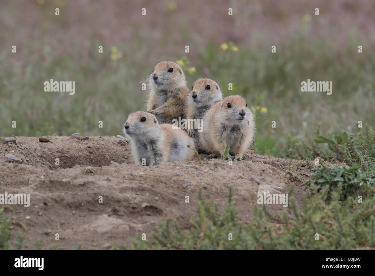 black-tailed prairie dogs Stock Photo