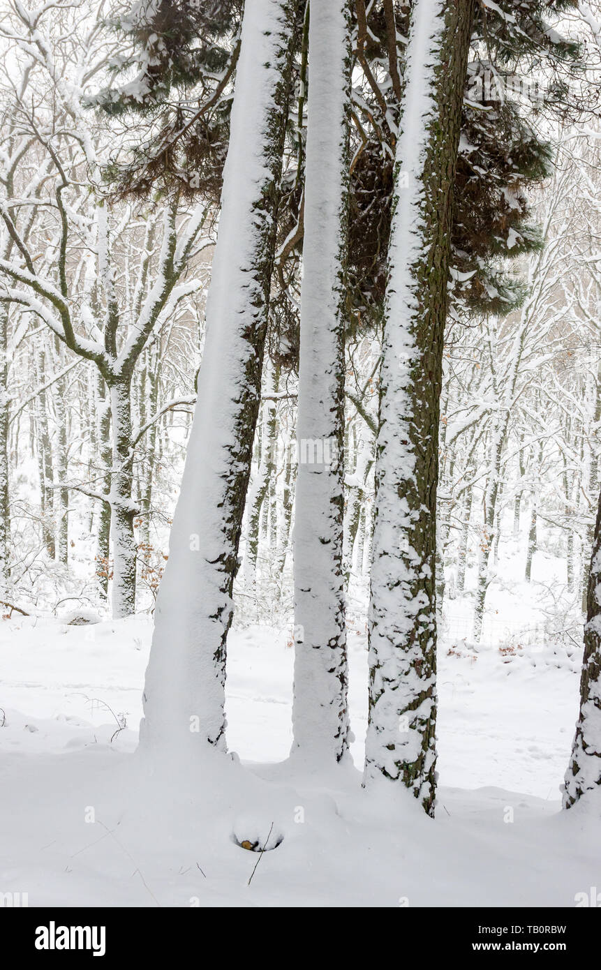 Three trunks of pine tree partially covered by snow in a winter day Stock Photo