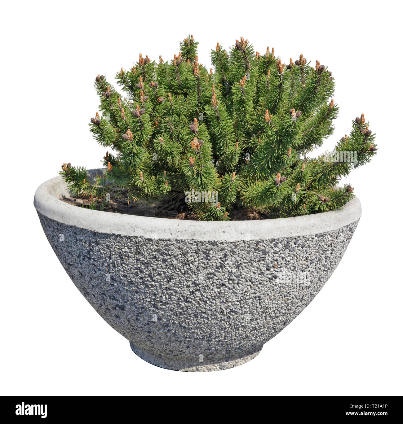 Bonsai  style pine tree grow in a ceramic pot on city street.  Isolated on white street object - Stock Image