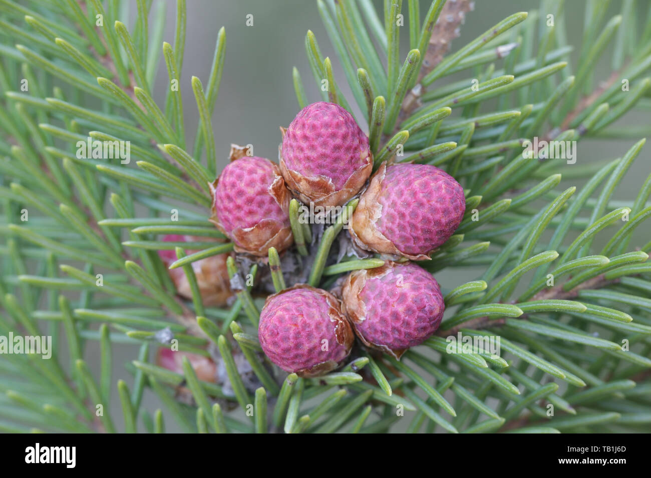 Fresh cones of Picea abies, the Norway spruce or European spruce - Stock Image