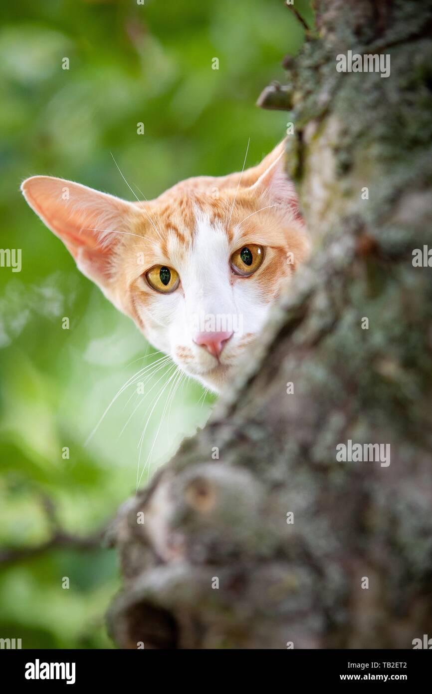 Oriental Longhair Cat - Stock Image