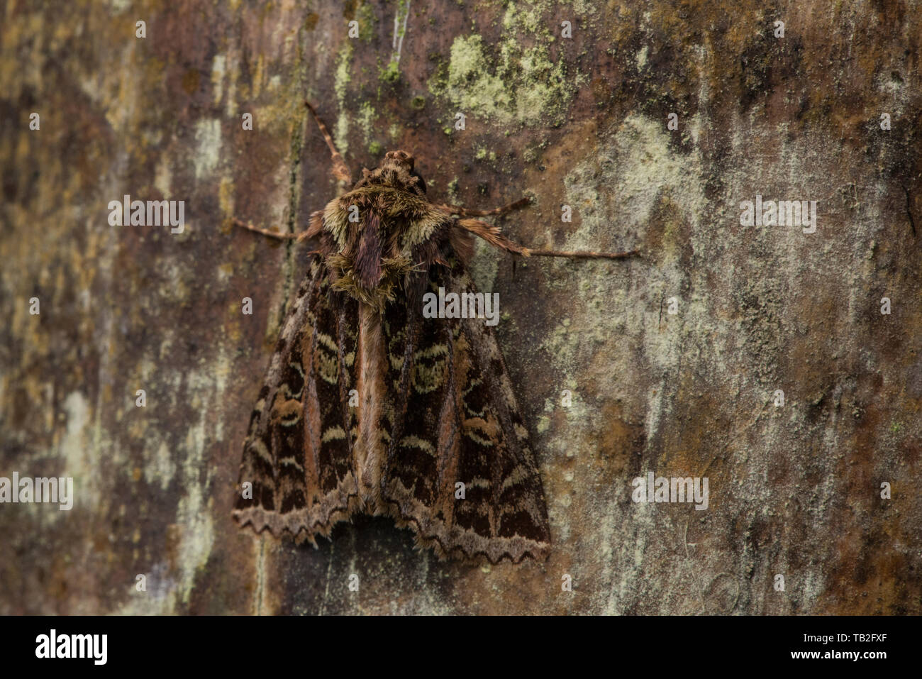 A moth in the Cutworm and Dart Moth Subfamily Noctuinae camouflaged on a wood surface in the Ecuadorian cloud forest. Stock Photo