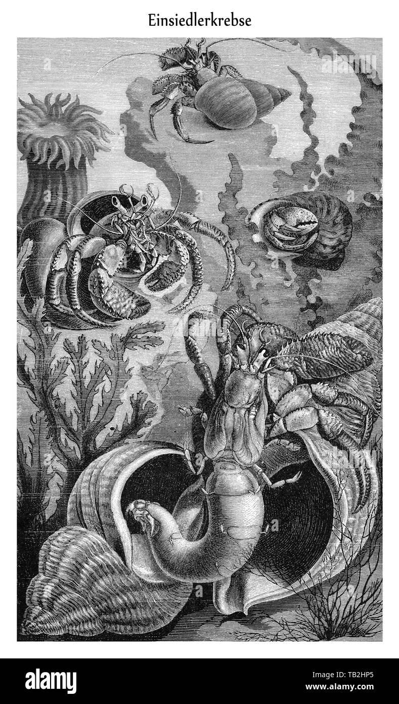 Zeichnerische Darstellung, Einsiedlerkrebse (Paguridae),  aus Meyers Konversations-Lexikon, 1889 - Stock Image