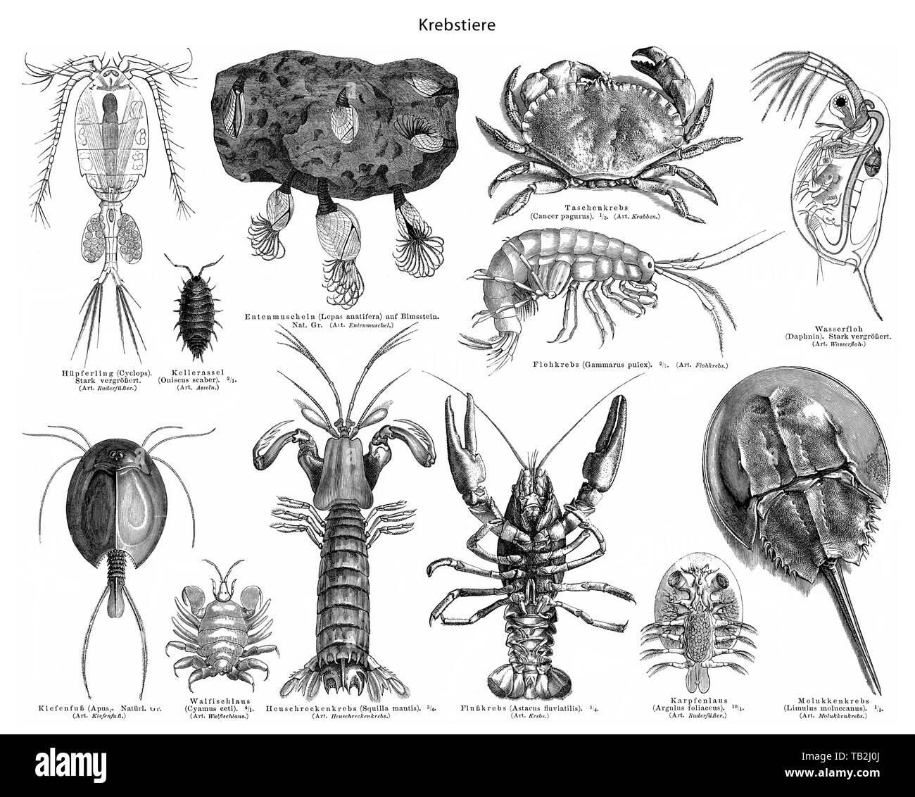 Historical graphic representation, crabs or crustaceans (Crustacea), 19th Century, Krebse oder Krebstiere (Crustacea), - Stock Image