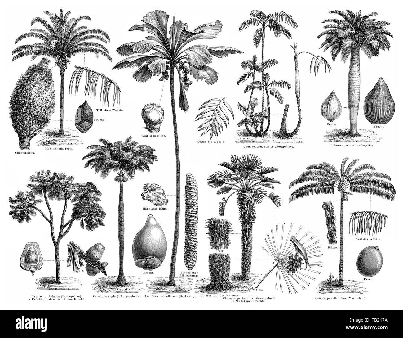 various palm trees, palm family (Arecaceae or Palmae), Historische, zeichnerische Darstellung, Übersicht über verschiedene Palmengewächse oder Palmen (Arecaceae oder Palmae), Familie der Ordnung der Palmenartigen (Arecales) , 19. Jahrhundert, aus Meyers Konversations-Lexikon, 1889 - Stock Image