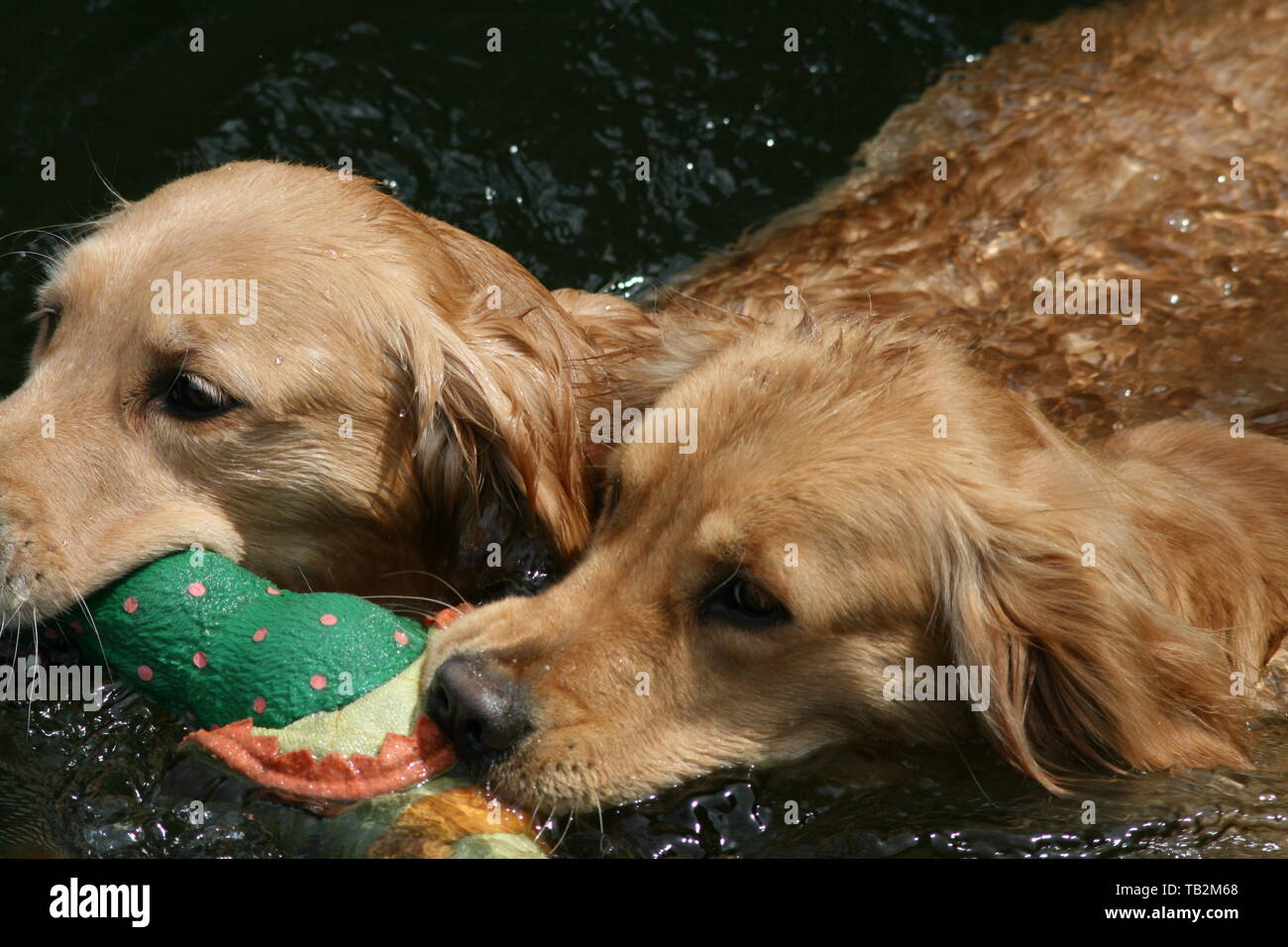 Golden Retrievers Swimming with toy in their mouths in a Pond - Stock Image