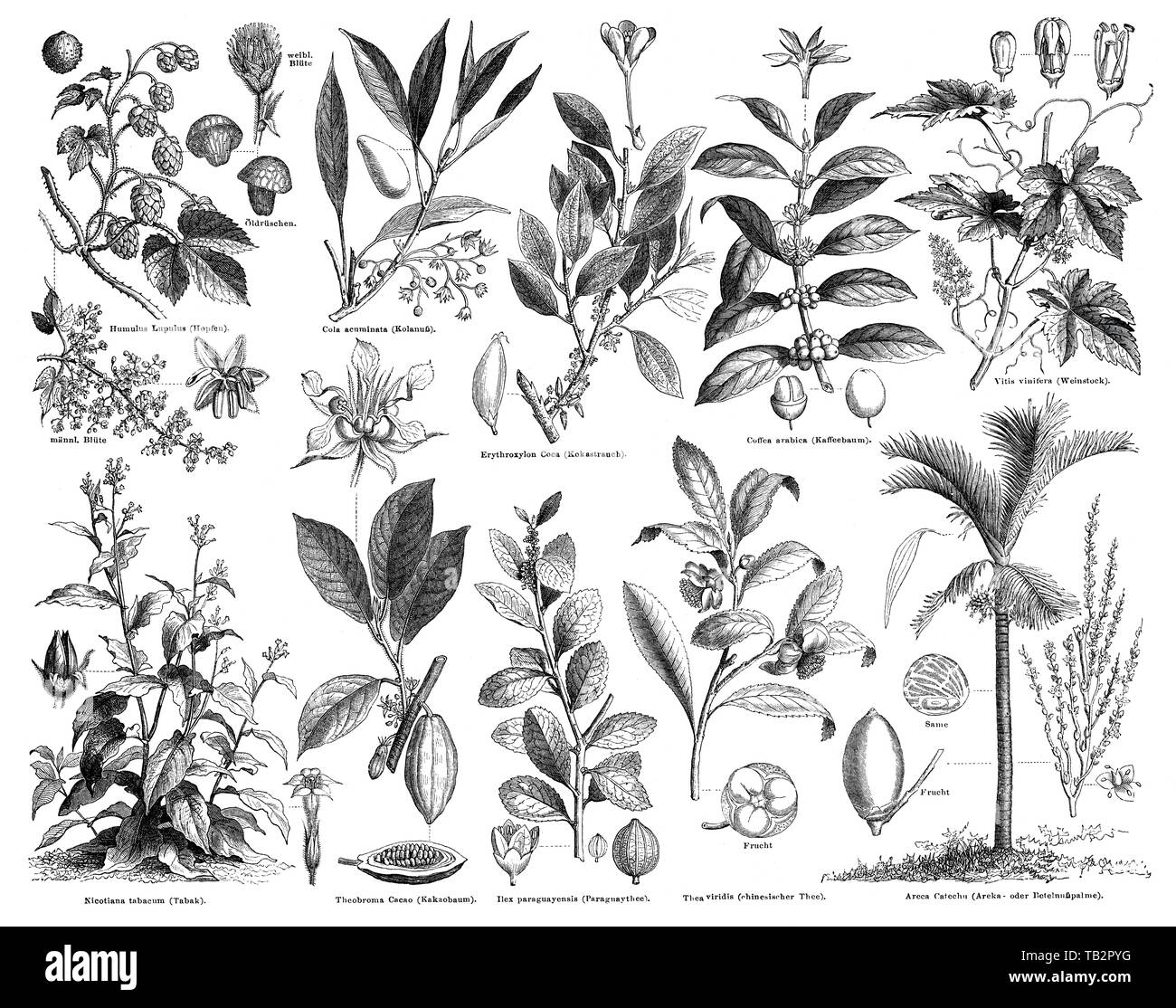 Plants with stimulant effects - Stock Image