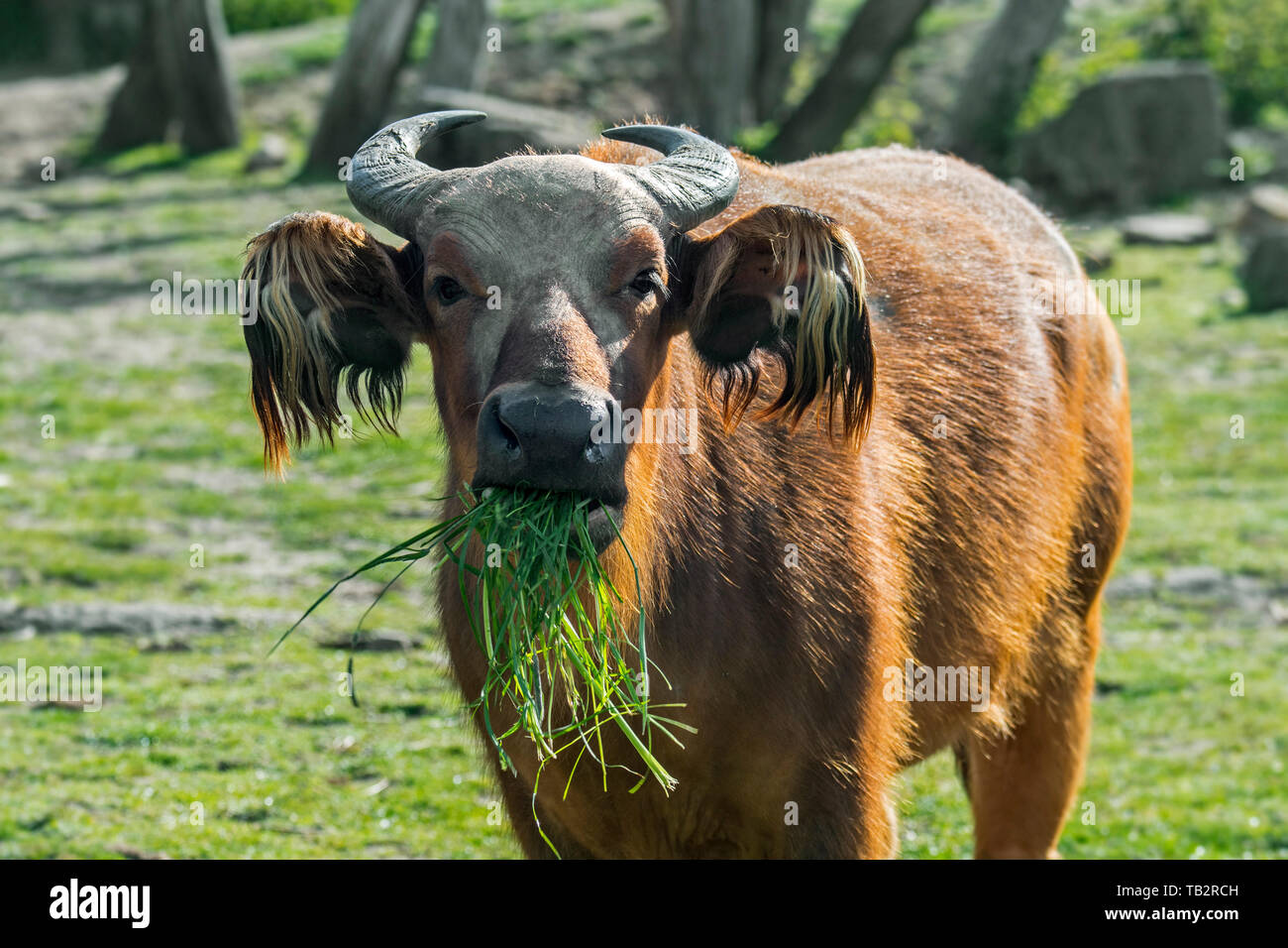 African forest buffalo / dwarf buffalo / Congo buffalo (Syncerus caffer nanus) native to the rainforests of central and western Africa - Stock Image