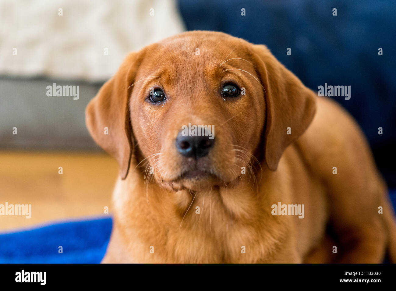 Brown Lab Puppy High Resolution Stock Photography And Images Alamy