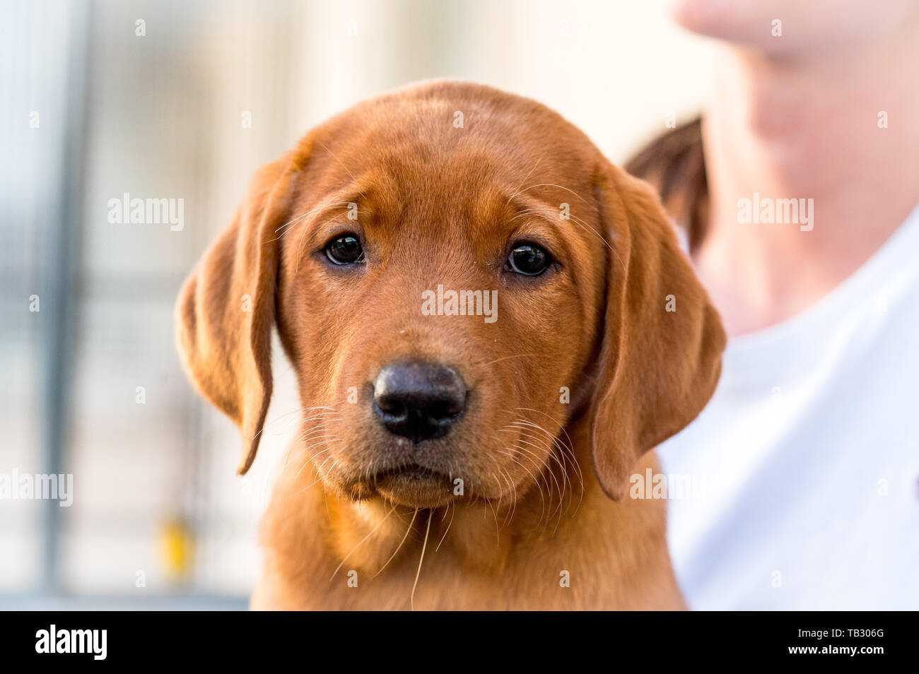 Cute Light Brown Labrador Retriever Puppy Stock Photo Alamy