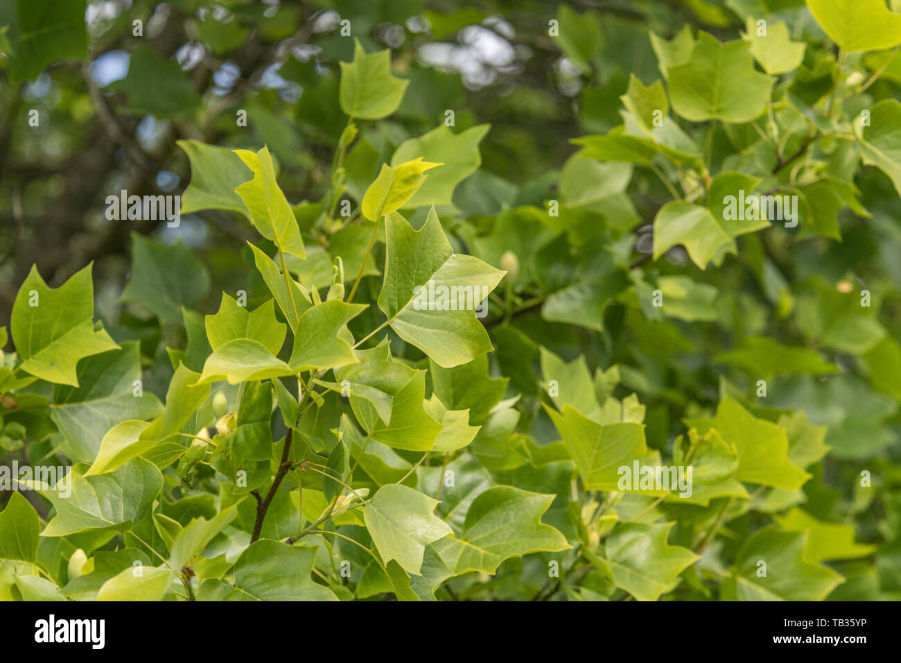 Early Summer foliage / leaf mass of a specimen of the Tulip Tree / Liriodendron tulipifera. Sometimes called Tulip Poplar. - Stock Image