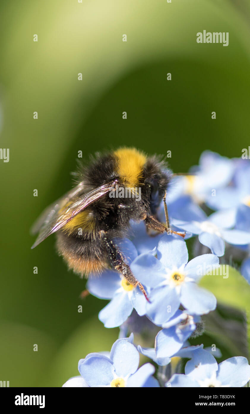 Bumble Bee on Forget-me-Not flowers, England, UK - Stock Image