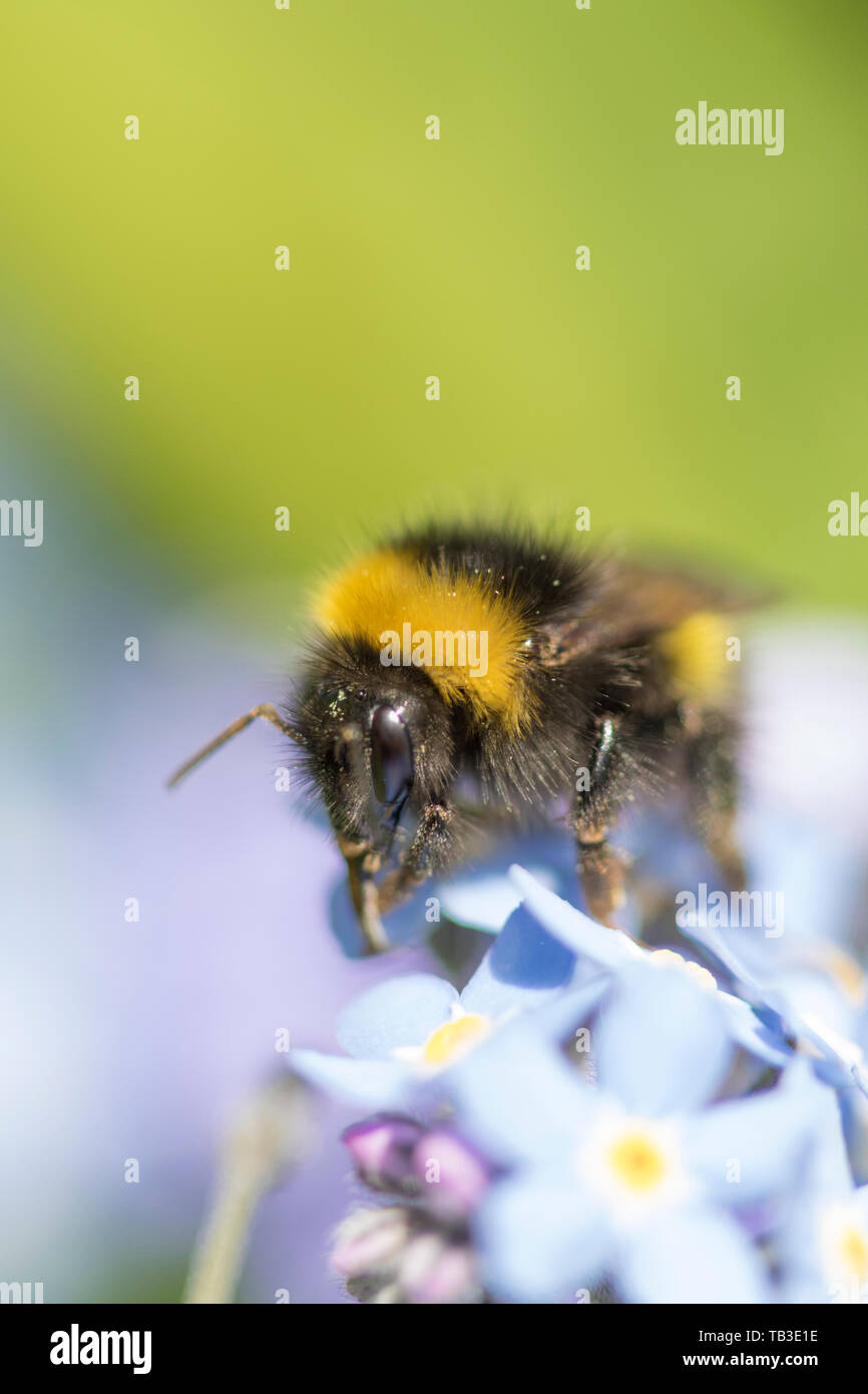 Bumble Bee on Forget-me-Not flowers, England, UK Stock Photo