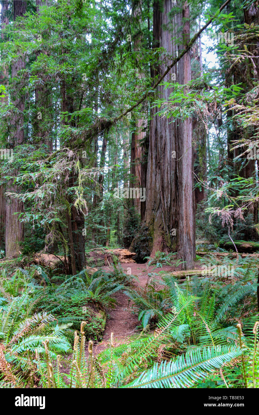 Stour Memorial Grove, Jedediah Smith Redwoods State Park, California, CA, USA - Stock Image