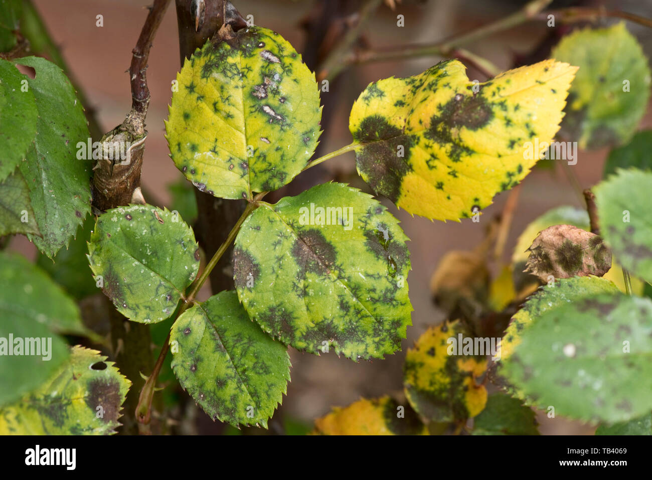 Black spot, Diplocarpon rosae, a fungal disease on rose leaves, Berkshire, May - Stock Image