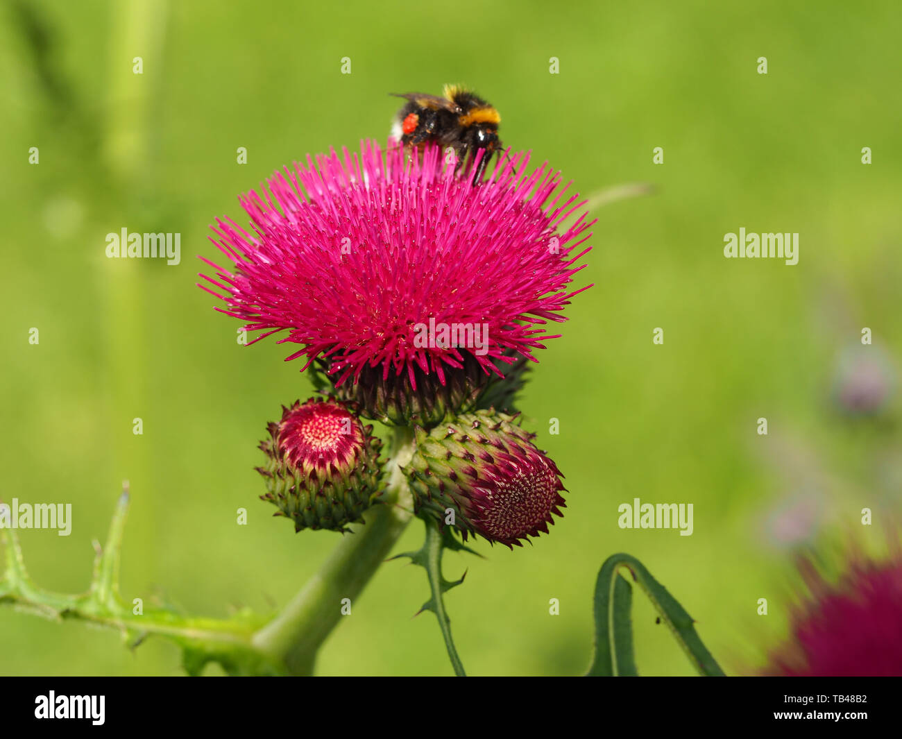 Closeup of a bright pink brook thistle flower (Cirsium rivulare Atropurpureum) with buds and a bee in a summer garden - Stock Image