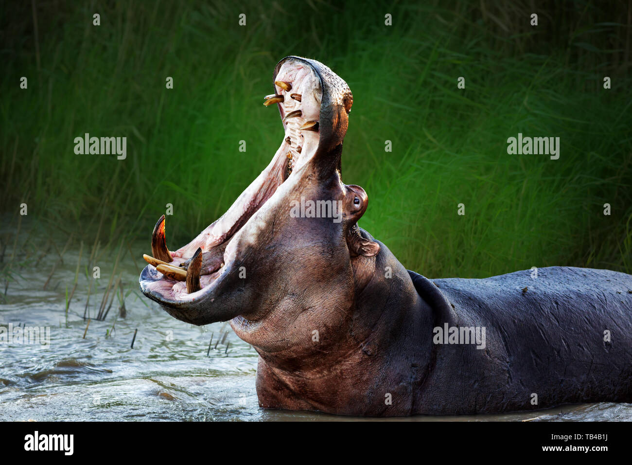 Angry hippopotamus displaying dominance in the water with a wide open mouth. Hippopotamus amphibius - Stock Image