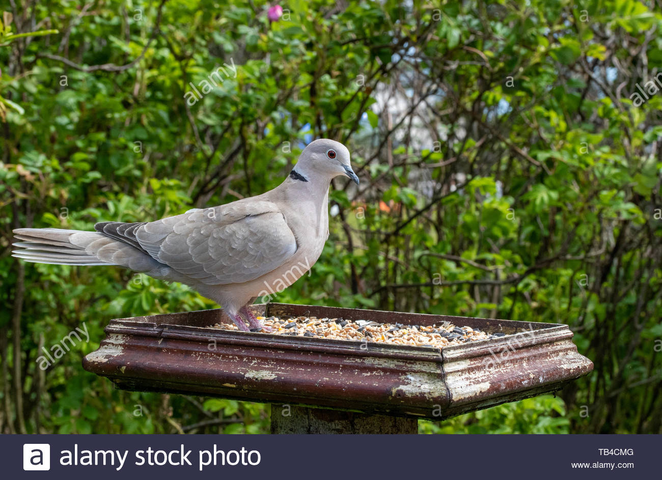 Collared Dove (Streptopelia decaocto) on bird table - Stock Image