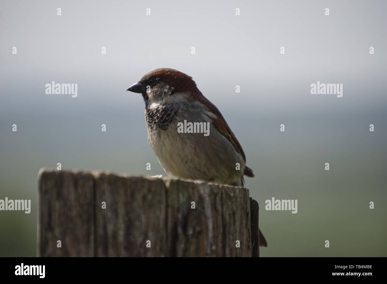Male House Sparrow Sitting on post - Stock Image