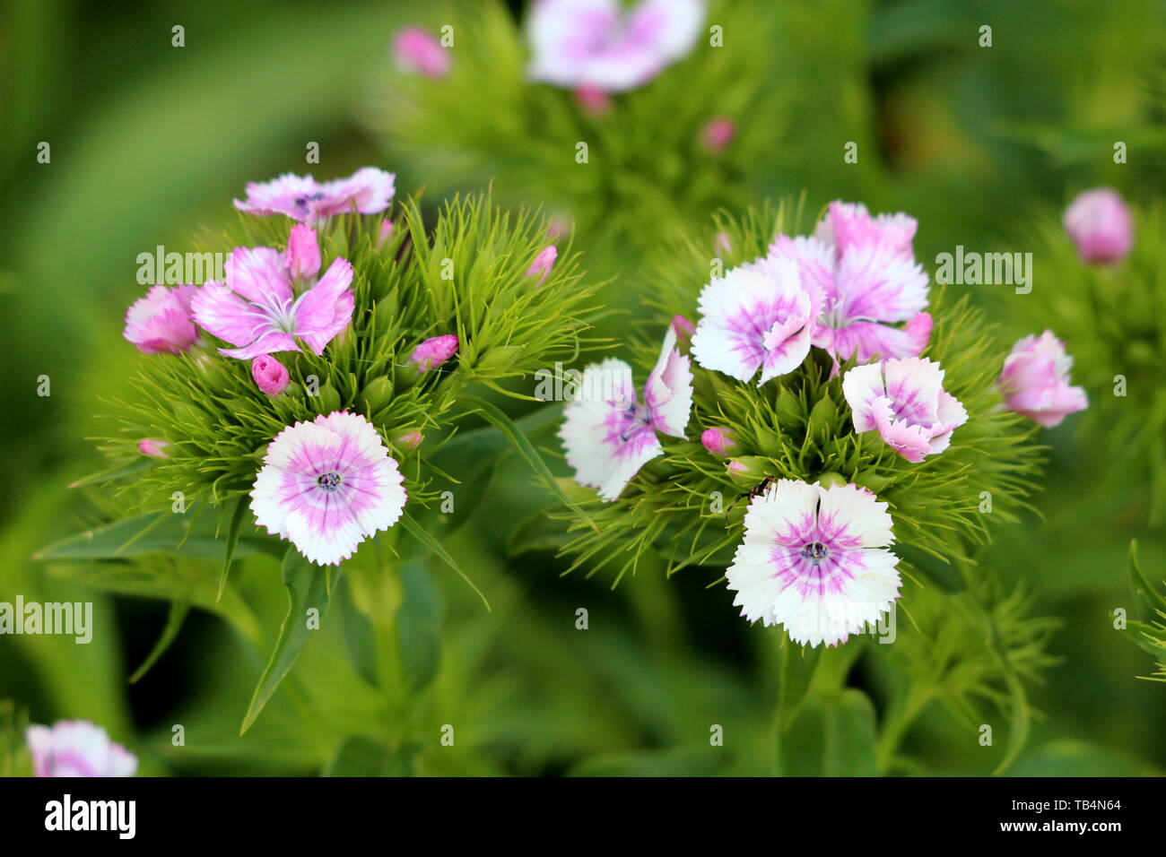 Sweet William or Dianthus barbatus young flowering plants with light pink flowers and green leaves planted in local garden on warm sunny spring day - Stock Image