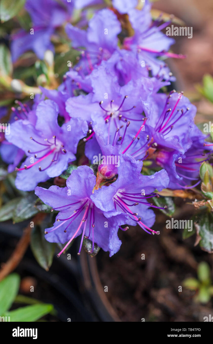 Close Up Of Dwarf Rhododendron St Merryn Deep Blue Flowers That