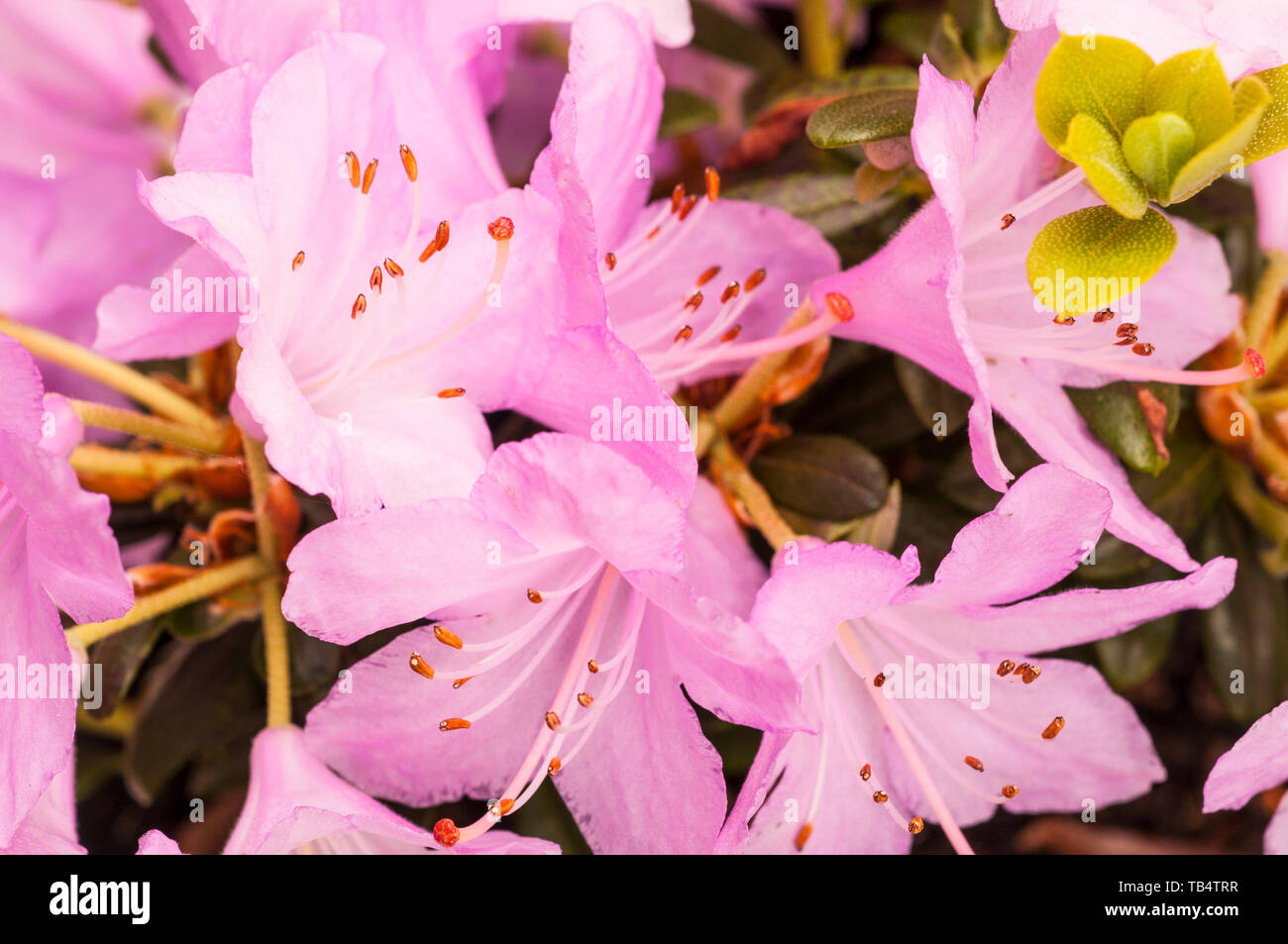Close Up Of Dwarf Rhododendron Snipe Large Pink Flowers That Are