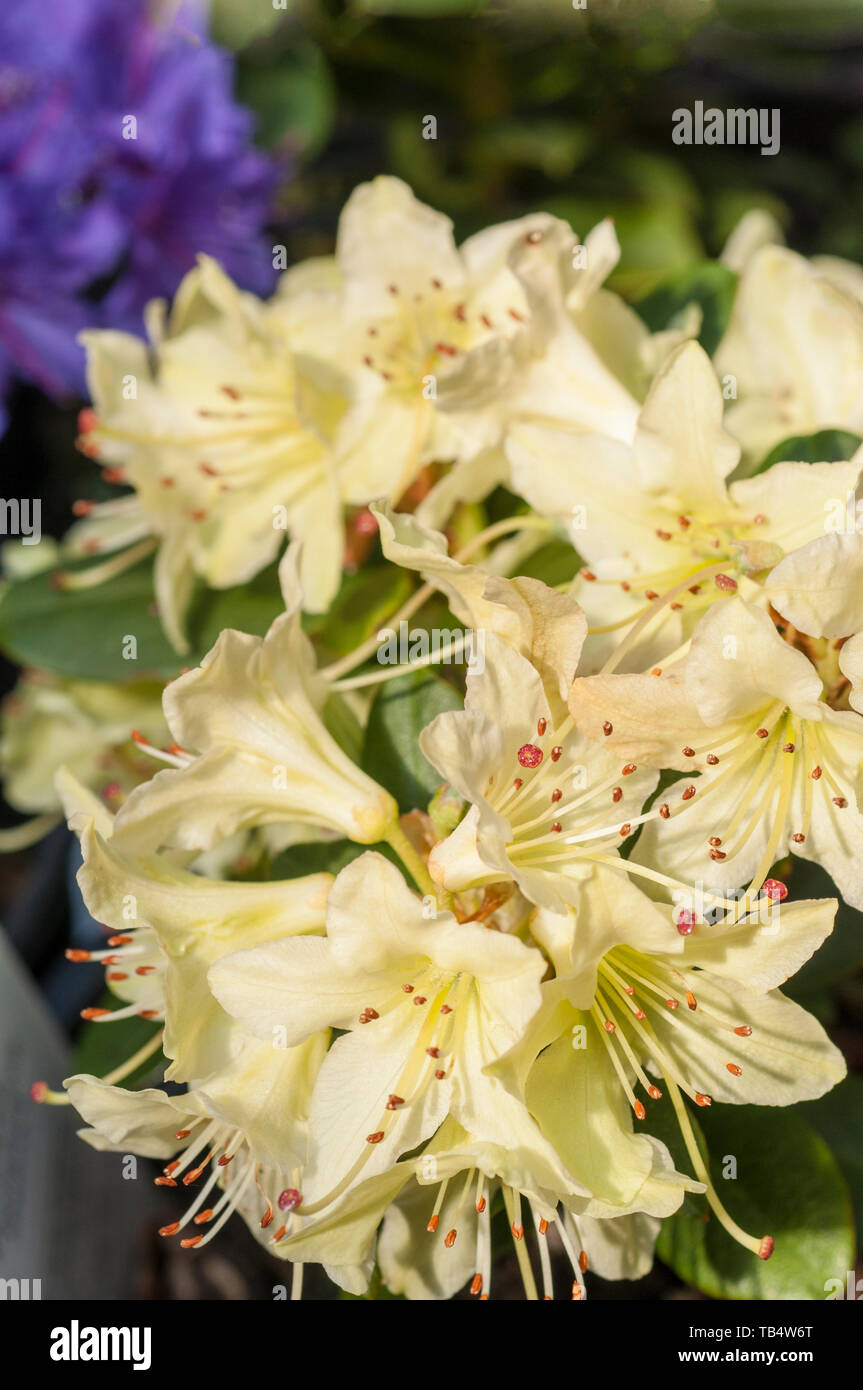 Close Up Of Dwarf Rhododendron Shamrock Yellow Flowers That Are