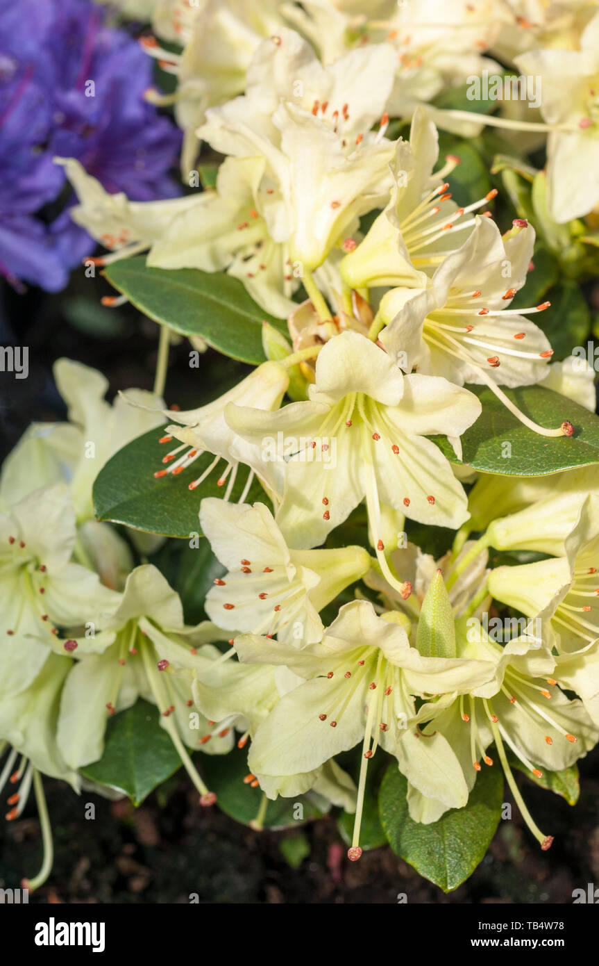 Close Up Of Dwarf Rhododendron Shamrock Large Yellow Flowers That