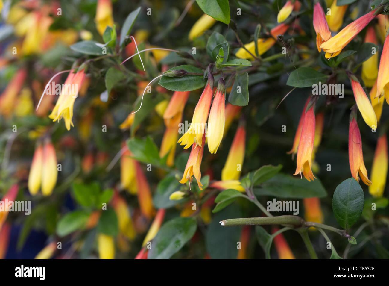 Jacobinia pauciflora flowers. - Stock Image