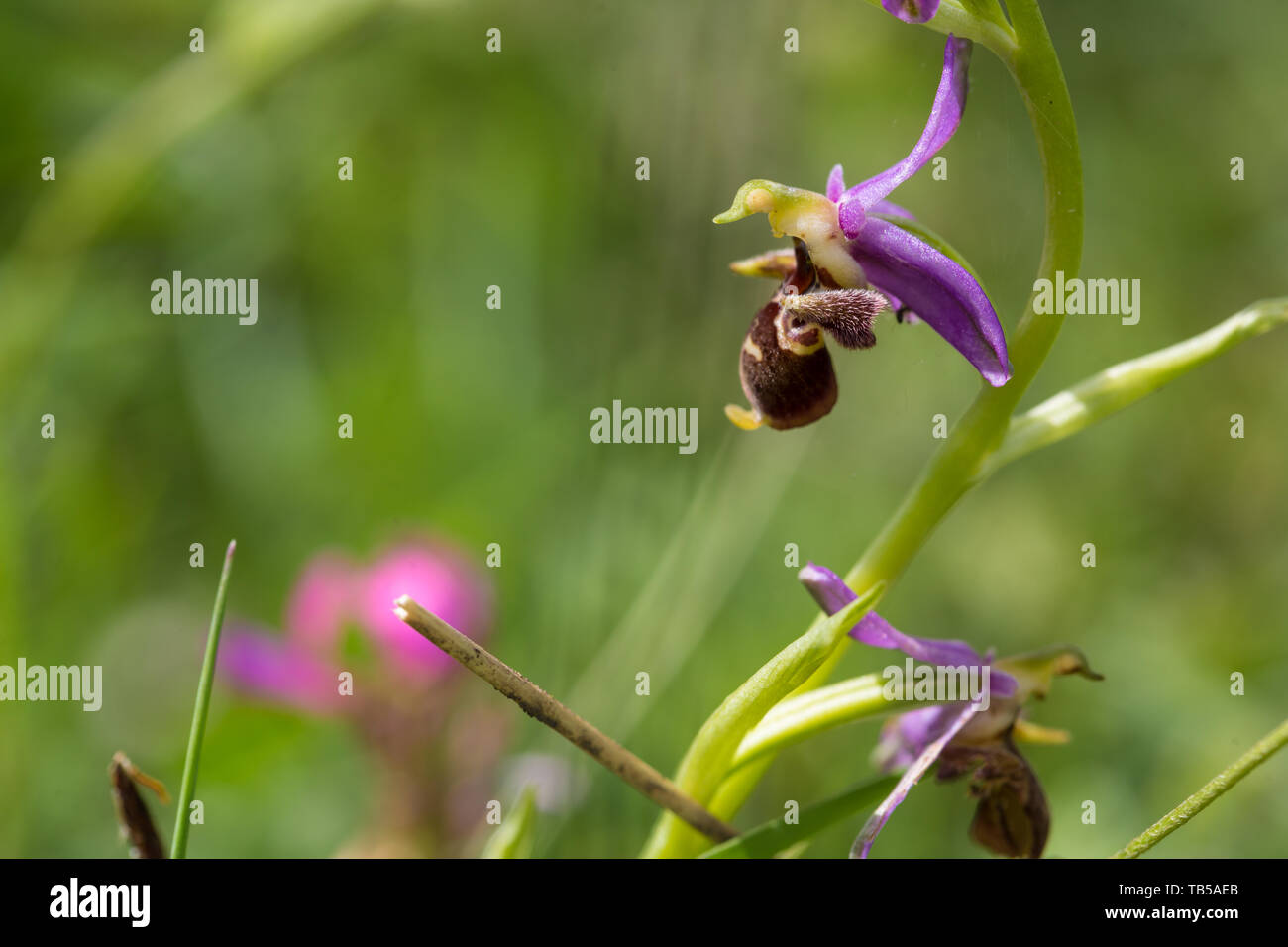 Hari bulbul plant of the Orchid family. Wild plant in habitat in the mountains of the Caucasus, Azerbaijan. - Stock Image