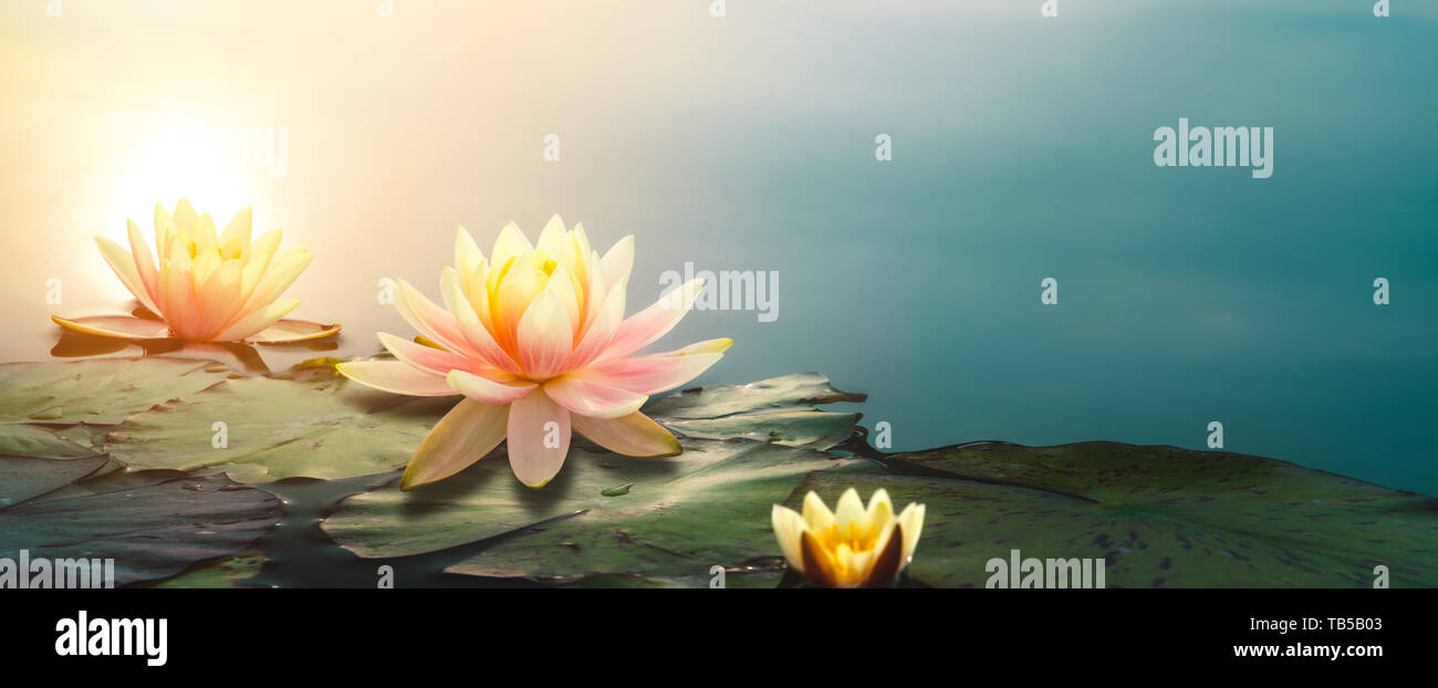 Closeup of lotus flower in pond - Stock Image