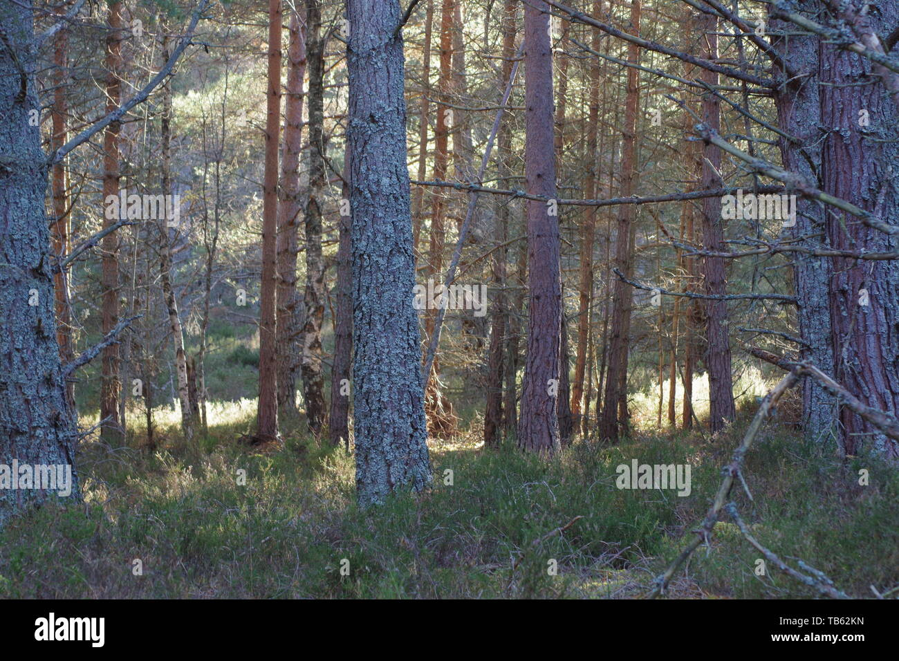 Tree Trunks of Scots Pine Woodland. Muir of Dinnet NNR, Cairngorms, Scotland, UK. - Stock Image