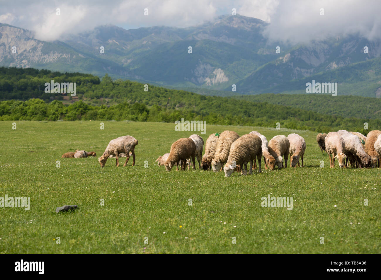 Sheeps on the alp fields. A sheeps is sitting at an alpine meadow in the alps. - Stock Image