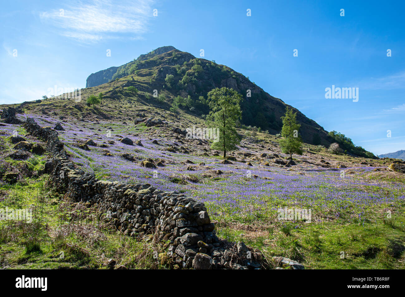 Eagle Crag stands out against the blue sky covered in blue bells below Langstrath Valley, Borrowdale,near Keswick, Lake District National Park, Cumbri - Stock Image