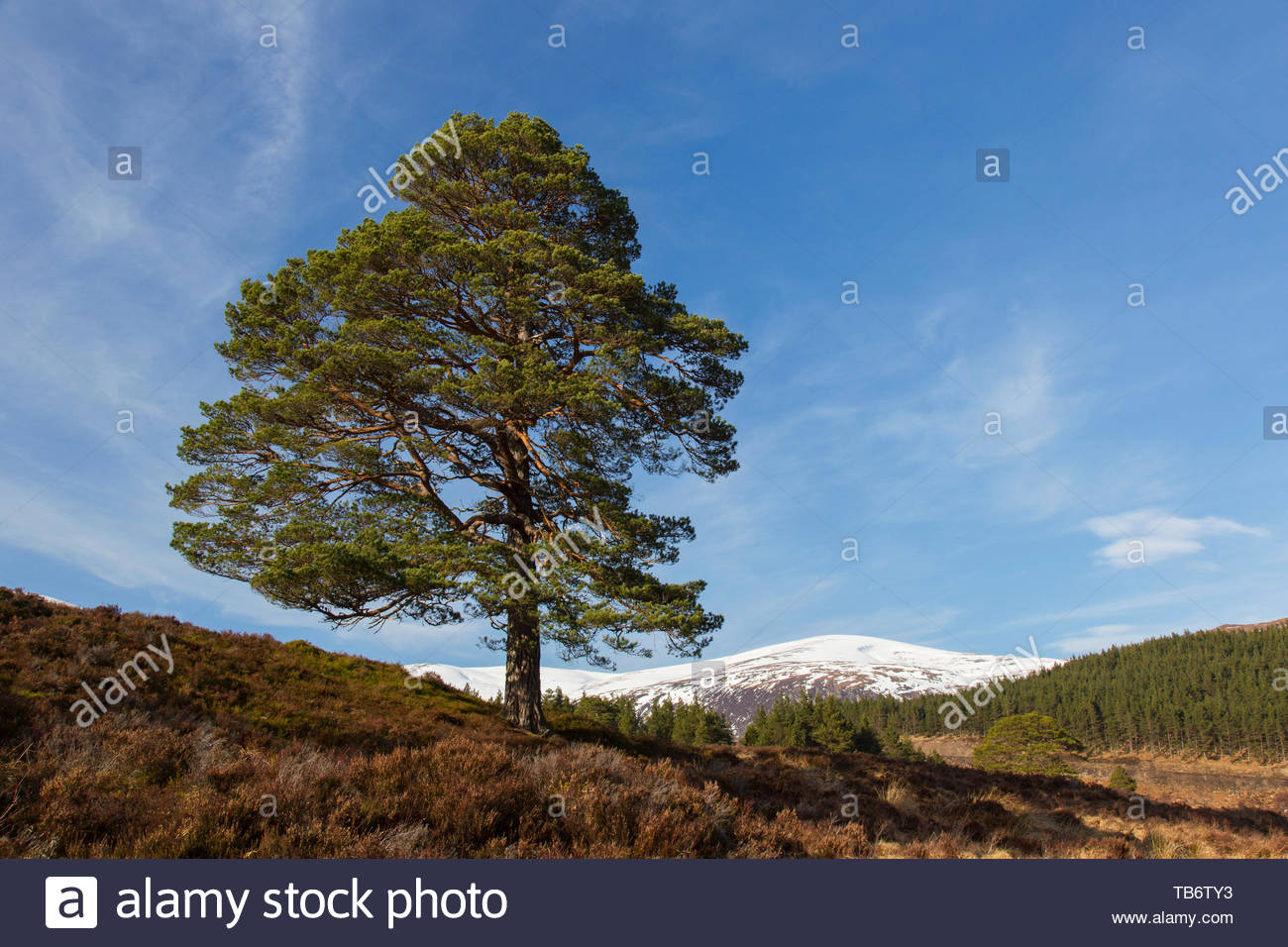 Solitary native Scots pine (Pinus sylvestris) in Glen Affric in winter, Inverness-shire, Scottish Highlands, Highland, Scotland, UK - Stock Image
