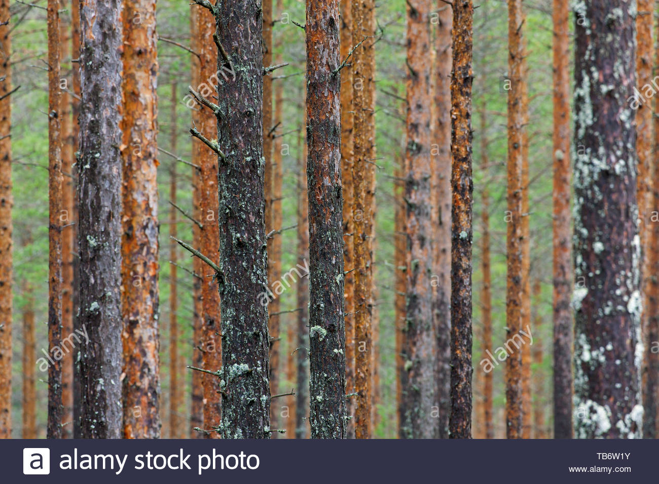 Scots Pine (Pinus sylvestris) tree trunks in coniferous forest in Sweden, Scandinavia - Stock Image