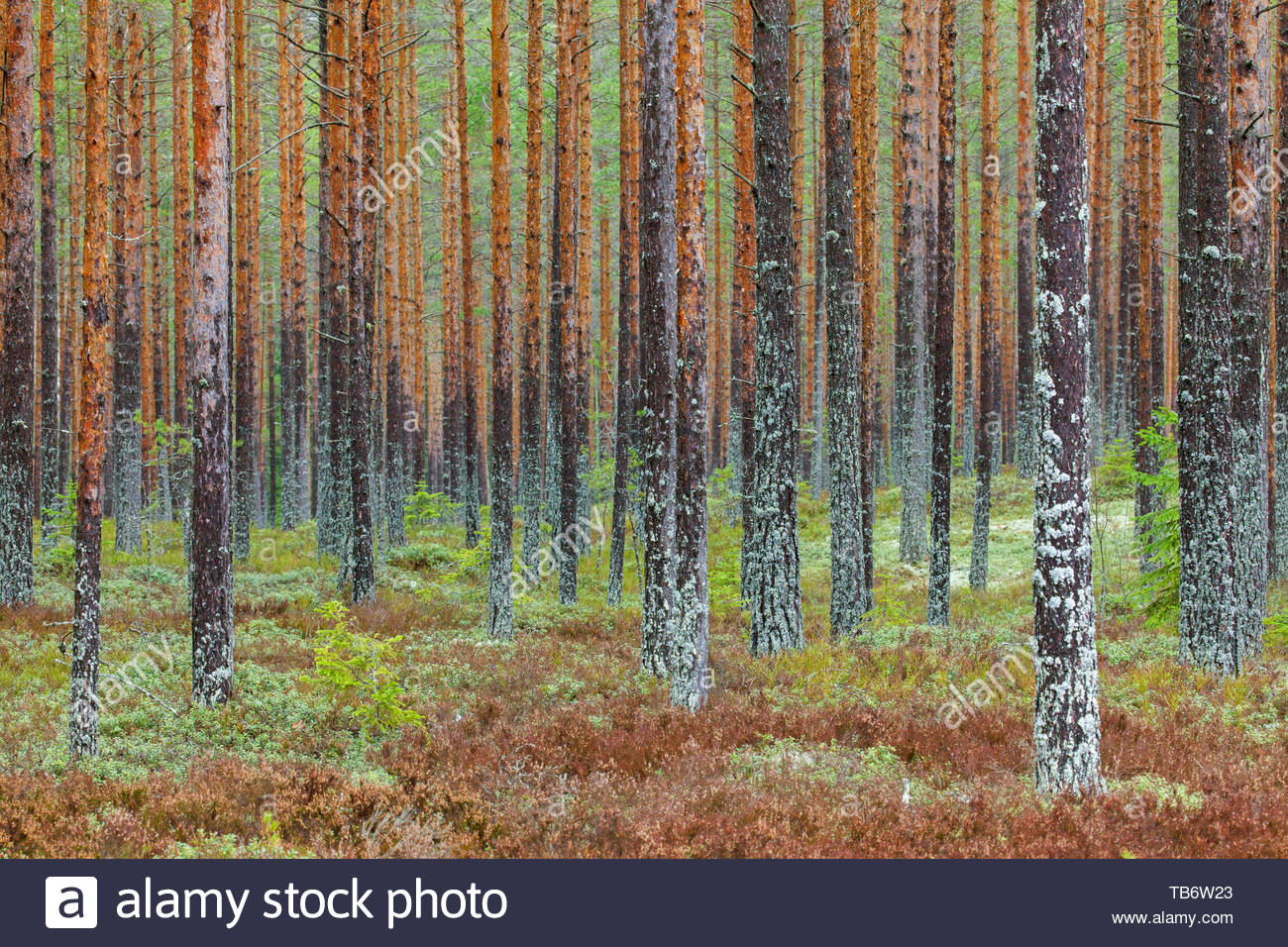 Scots Pine (Pinus sylvestris) tree trunks covered in moss and lichen in coniferous forest / taiga in Sweden, Scandinavia - Stock Image
