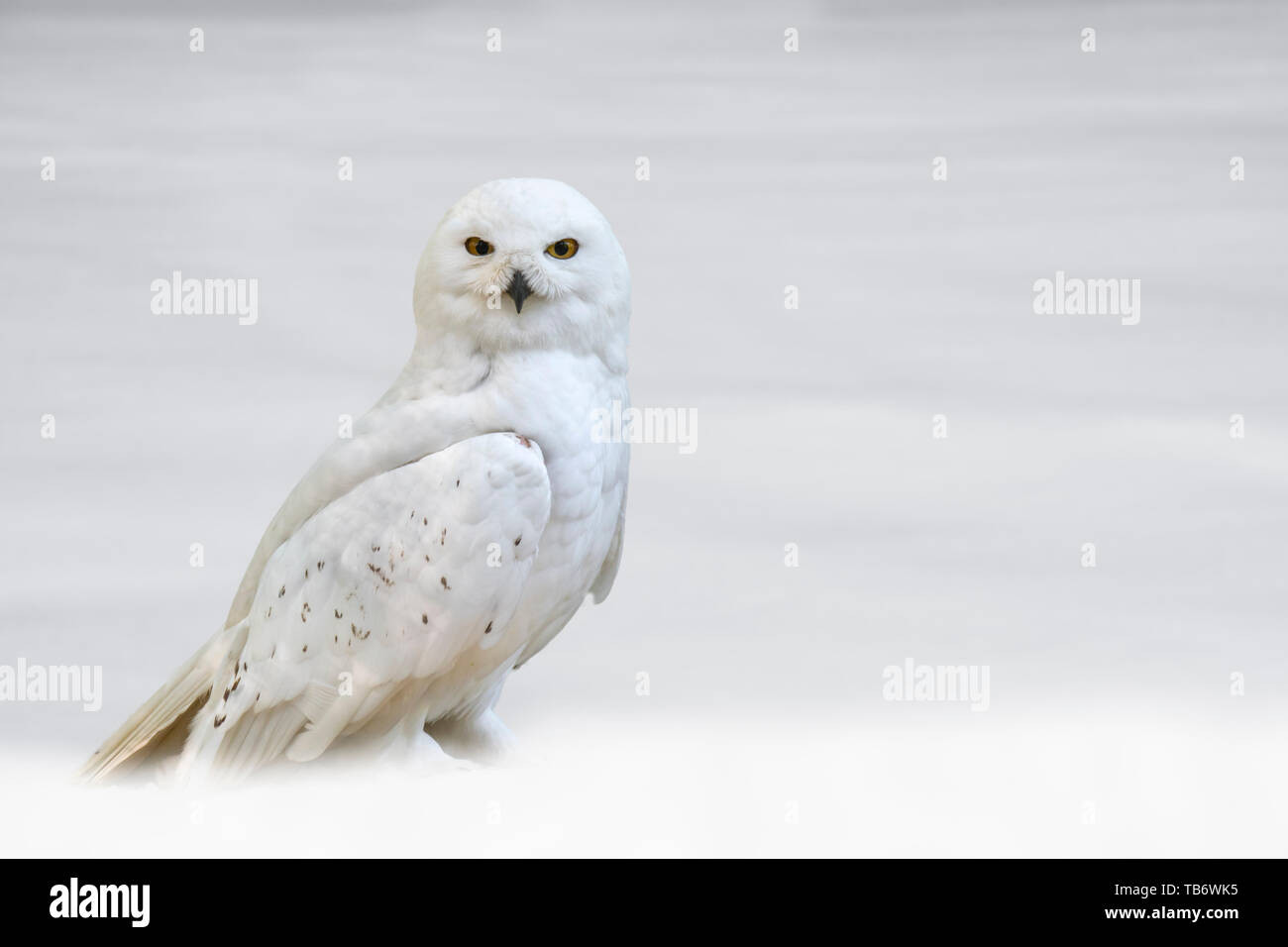 Snowy owl (Bubo scandiacus / Strix scandiaca) on the tundra in the snow in winter, native to Arctic regions in North America and Eurasia Stock Photo