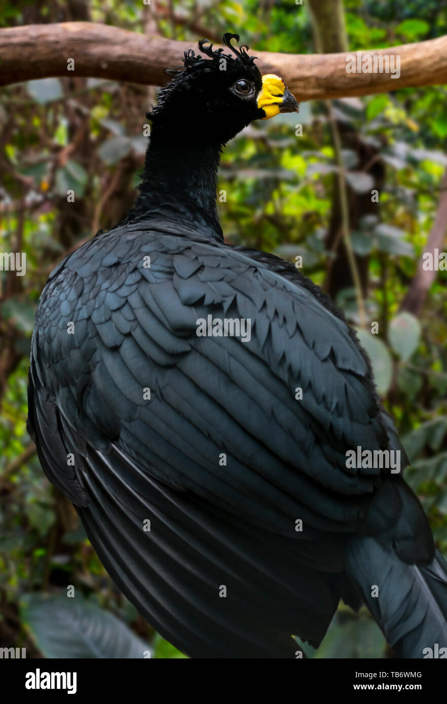 Yellow-knobbed curassow (Crax daubentoni) male foraging in forest, native to Colombia and Venezuela, South America - Stock Image