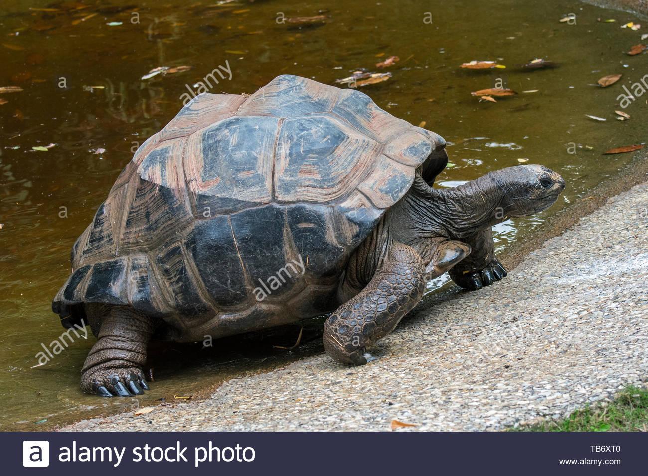 Aldabra giant tortoise (Aldabrachelys gigantea / Testudo gigantea) native to the islands of the Aldabra Atoll in the Seychelles leaving pond - Stock Image
