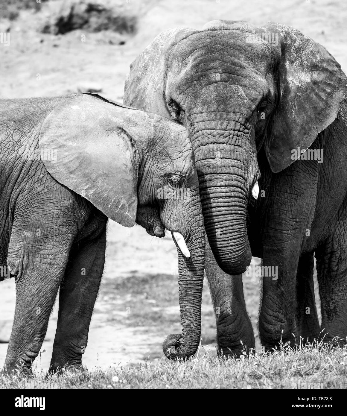 Black & white close-up photograph showing strong affection, bond, love between African elephant calf & his mother (Loxodonta) together outside in sun. Stock Photo
