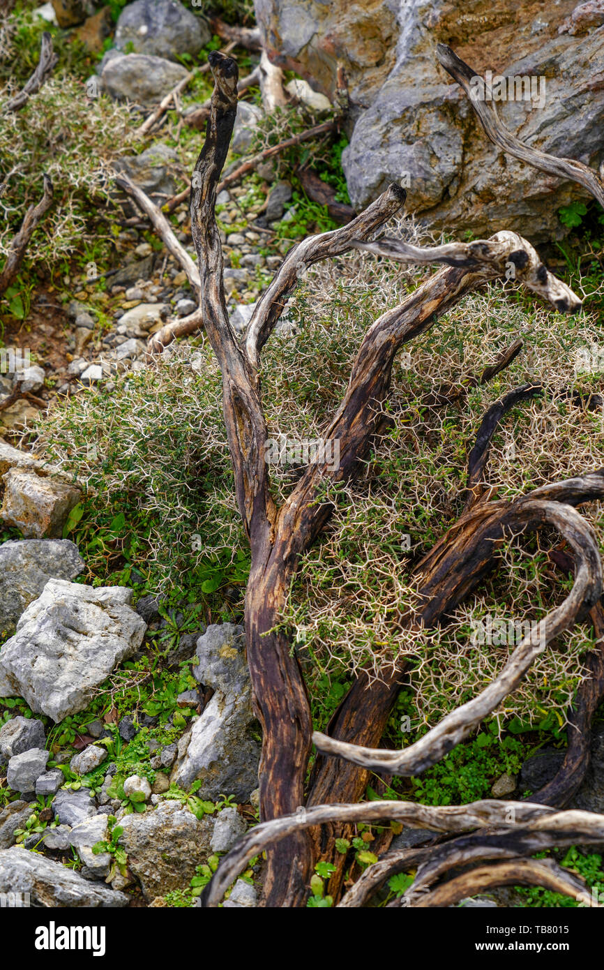 The struggle for survival a tree struggles with hardship. Photographed in Crete, Greece Stock Photo
